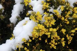 Gorse in snow2008-03-23